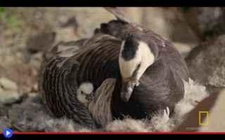 animali  uccelli  oche  settentrione