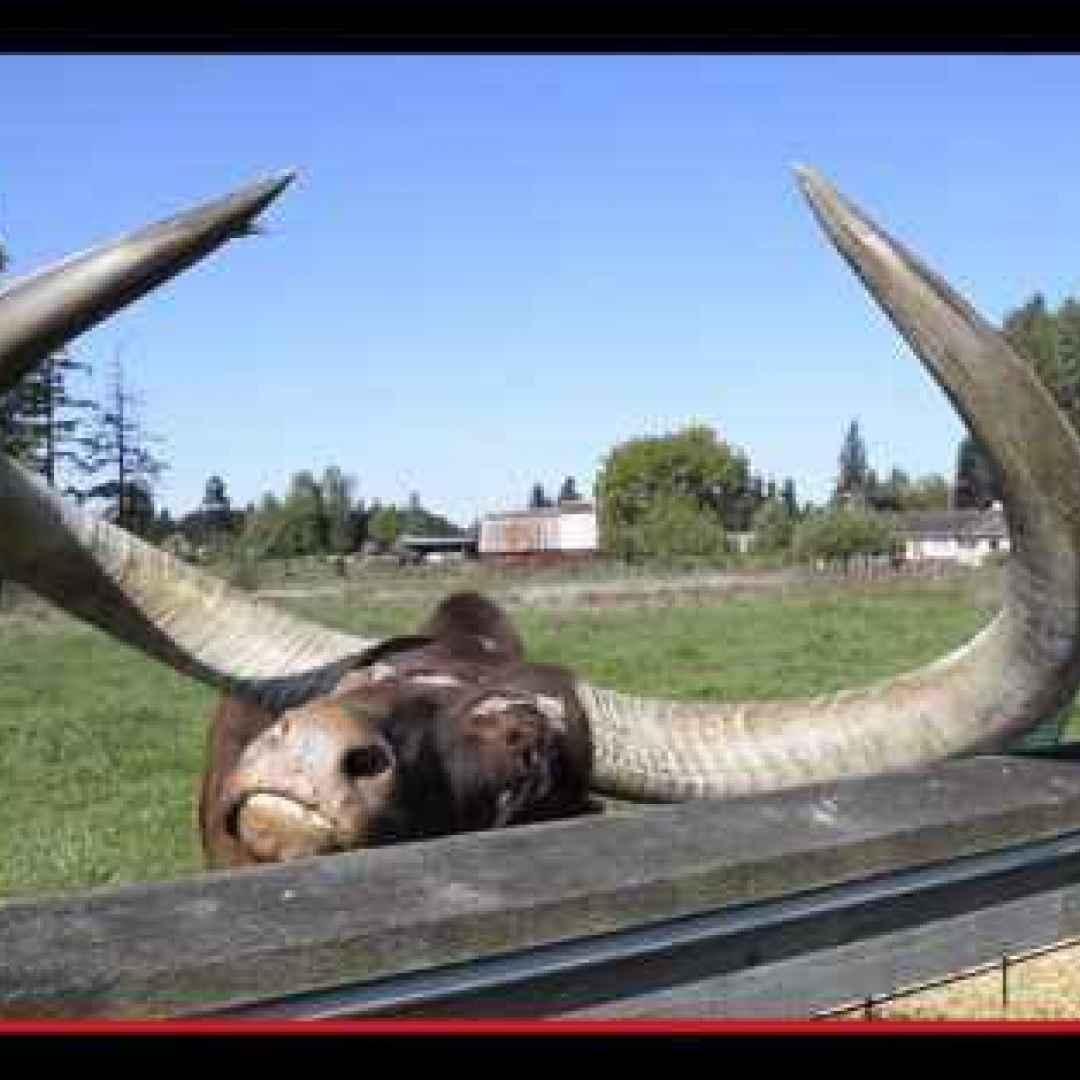 animali  razze  bovini  mucche  tori