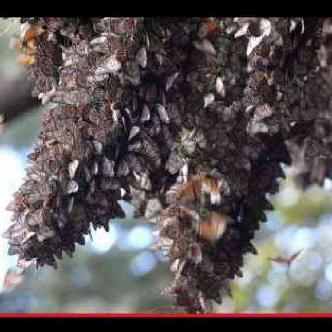 insetti  animali  farfalle  stati uniti