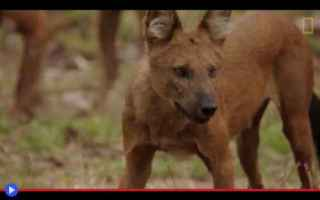 Animali: animali  cani  asia  foresta  cuon