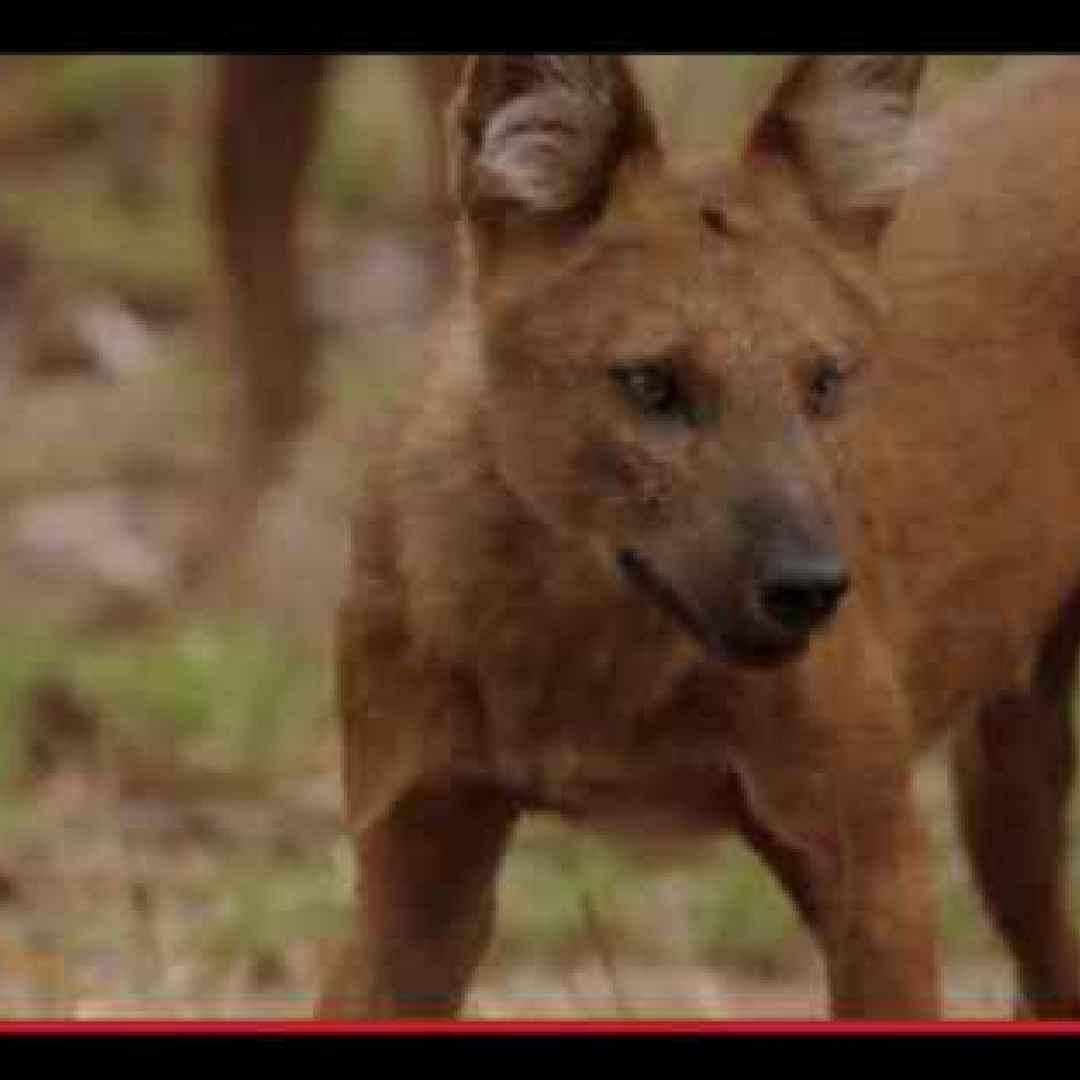 animali  cani  asia  foresta  cuon