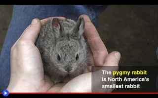 https://www.diggita.it/modules/auto_thumb/2019/06/10/1641609_Pigmy-Rabbit-500x313_thumb.jpg