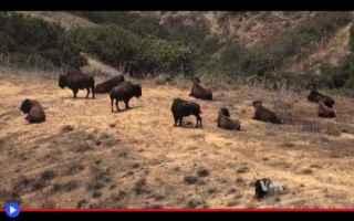 animali  usa  california  bisonti