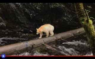 Animali: animali  orsi  canada  genetica