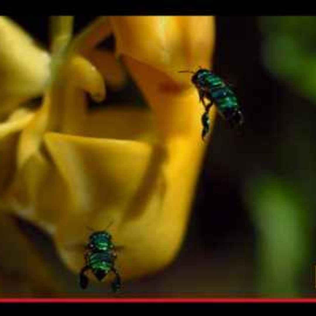 piante  fiori  api  insetti  sudamerica