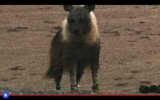 Animali: animali  carnivori  iene  sudafrica