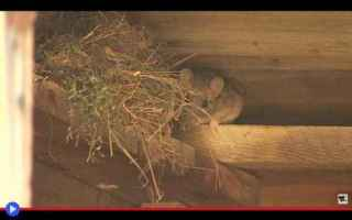 Animali: animali  roditori  cricetidi  topi